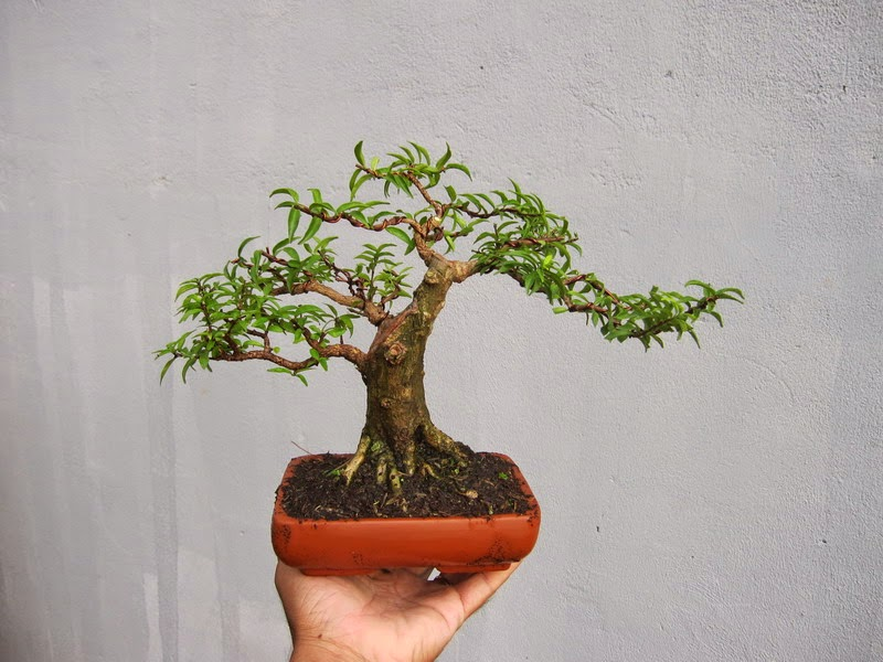Bonsai Care Service